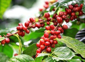 Kỹ thuật chăm sóc cây cà phê mang lại hiệu quả kinh tế cao