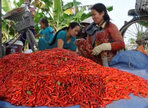 Cần Thơ: Chuyển đổi sang trồng ớt nhằm thích ứng biến đổi khí hậu
