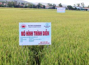Phú Yên: Báo cáo kết quả trình diễn phân bón Mặt Trời Mới trên cây lúa tại Huyện Phú Hòa