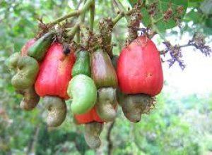 Quy trình bón phân, phòng trừ sâu bệnh hại trên cây Điều