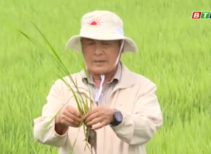 Các biện pháp chăm sóc, bón phân cho lúa Đông Xuân