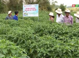 Phân bón Mặt Trời Mới Hỗ Trợ Nông Dân Trồng Ớt tại Mỹ Cát, Phù Mỹ, Bình Định
