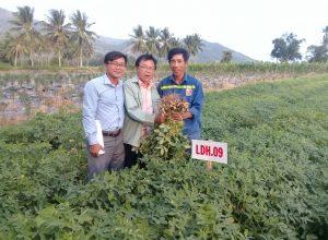 Kết Quả Khảo Nghiệm Một Số Giống Lạc Tại Tỉnh Khánh Hòa