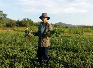 Kết quả sử dụng phân bón NPK Mặt Trời Mới chuyên dùng cho cây lạc vụ Đông Xuân 2020 – 2021 tại Vùng Duyên Hải Nam Trung Bộ
