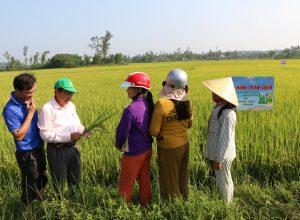 Kết quả sử dụng phân bón NPK Mặt Trời Mới chuyên dùng cho cây lúa vụ Đông Xuân 2020 – 2021 tại Vùng Duyên Hải Nam Trung Bộ